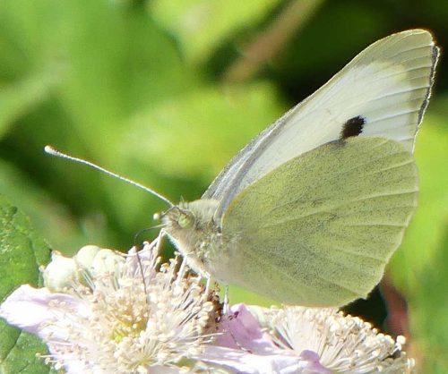 160807-LTLORME (45)-Large White female nectaring