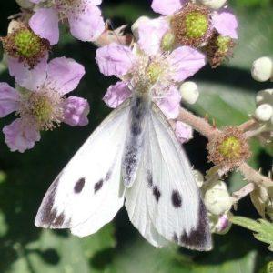 160807-LTLORME (62)-Large White (f) nectaring on bramble