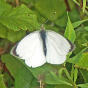 Large White butterfly (male)