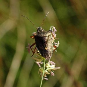 140715-berc-forest-bug-pentatoma-rufipes