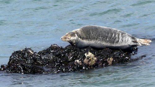 160826-LORC27-Grey seal basking on small rocks