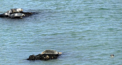 160826-LORC30-Grey seals basking on small rocks