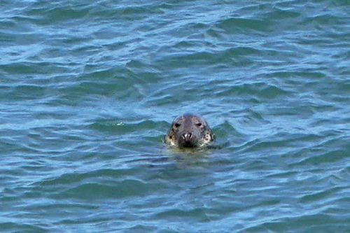 160826-LORC32-Grey seal floating head above water
