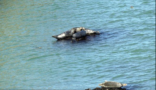 160826-LORC37-7 Grey seals