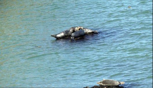 160826-LORC37-7 Grey seals