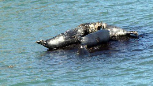 160826-LORC38-5 Grey seals