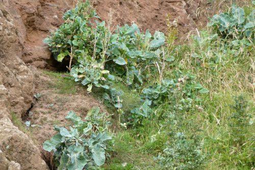 160826-LORC85-Wild cabbage plants on cliff