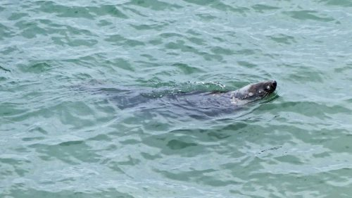 160910-lorc10-grey-seal-on-its-back