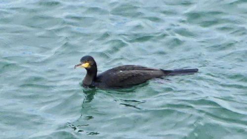 160910-lorc14a-cormorant-swimming