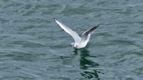160910-lorc15-black-headed-gull