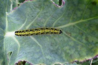 160910-lorc31a-large-white-bfly-caterpillar