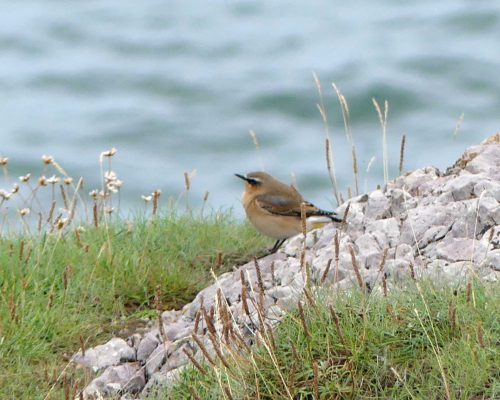 160910-lorc33a-northern-wheatear
