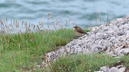 160910-lorc34-northern-wheatear
