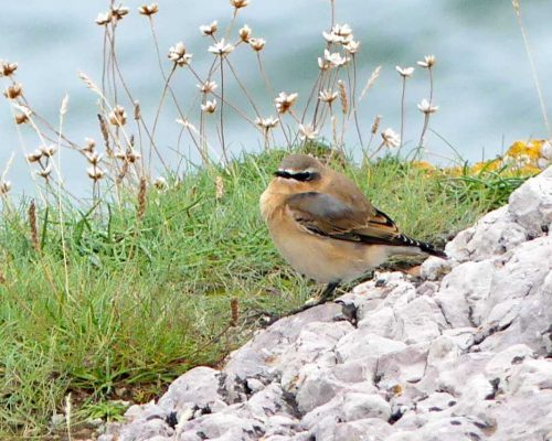 160910-lorc36a-northern-wheatear