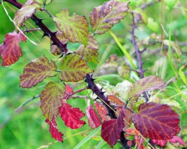 160910-lorc43-bramble-leaves