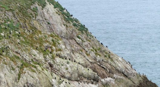 160910-lorc7-cormorants-on-cliff-edge