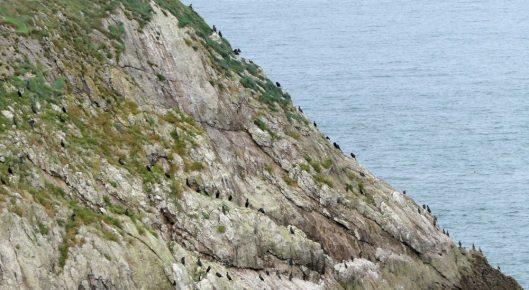160910-lorc7-cormorants-on-cliff-edge