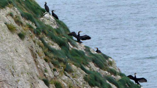 160910-lorc7a-cormorants-on-cliff-edge