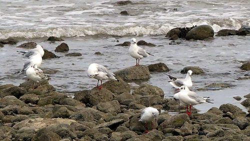 160910-rprc-black-headed-gulls-in-penrhyn-bay-2a