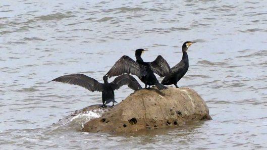 160910-rprc-cormorants-in-penrhyn-bay-1