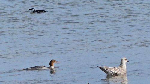 160910-rprc-rhos-point-20a-merganser-duck-diver-gull