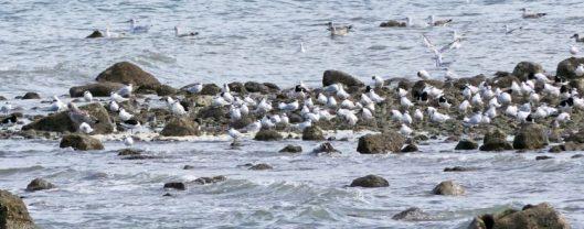 160910-rprc-rhos-point16-sandwich-terns-gulls