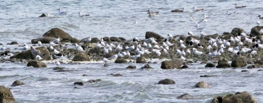 160910-rprc-rhos-point16-sandwich-terns-gulls