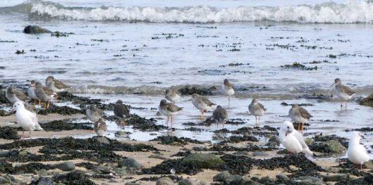 160910-rprc-rhos-point17a-redshanks-gulls