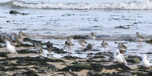 160910-rprc-rhos-point17a-redshanks-gulls
