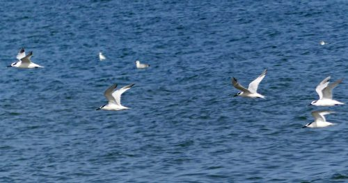160910-rprc-rhos-point23a-terns-flying