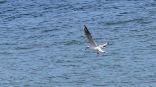 160910-rprc-rhos-point24a-black-headed-gull-flying