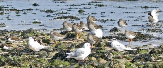 160910-rprc-rhos-point26a-redshanks-sandwich-terns-turnstone