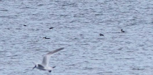 160910-rprc-rhos-point6a-red-throated-divers