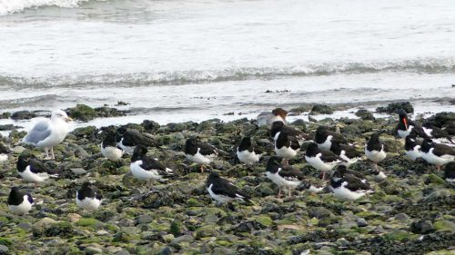 160910-rprc-rhos-point9a-oystercatchersherring-gull-merganser-duck