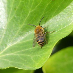 161004-rosrc-ivy-bee-1