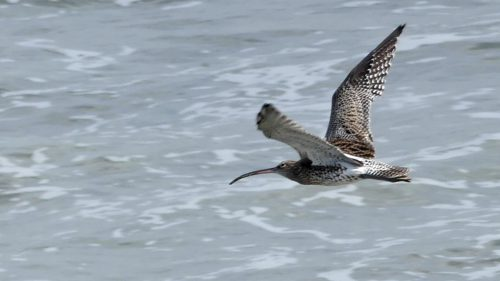 161005-1251-rhos-point-curlew