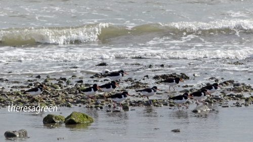 161005-1252-oystercatchers