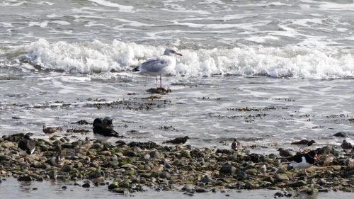161005-1253-mixed-waders-gull
