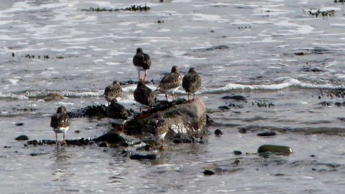 161005-1253-turnstones-on-rock-island