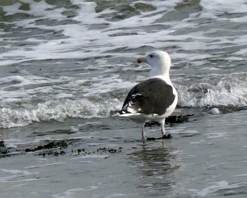161005-1254-gt-blk-backed-gull