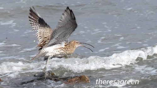 161005-1259-curlew-taking-off