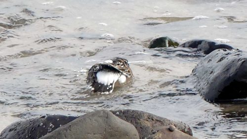 161005-1305-turnstone-bathing-1