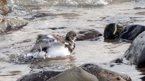 161005-1305-turnstone-bathing-2