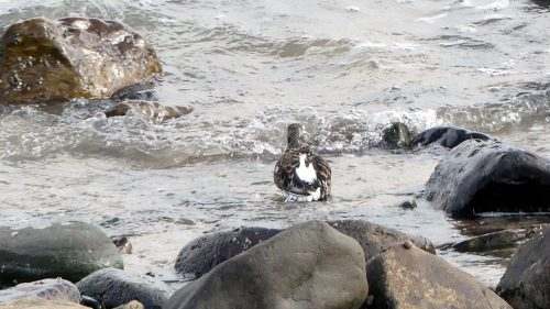 161005-1305-turnstone-bathing