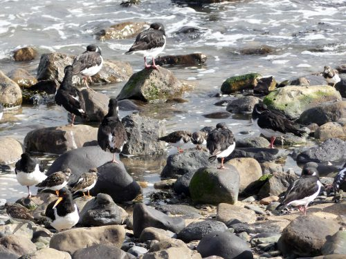 161005-1309-oystercatchers-turnstone