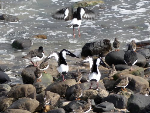 161005-1318-oystercatchers-taking-off