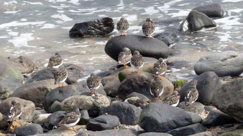 161005-1318-turnstones-left-alone