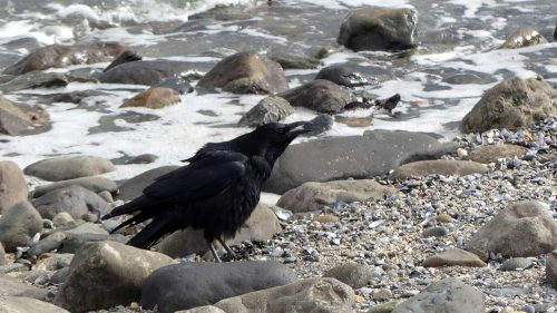 161005-1321-crow-arrives