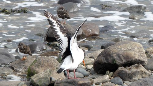 161005-1323-oystercatcher-stretching-wings-turnstones