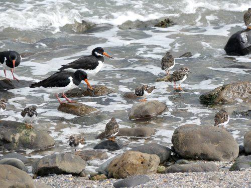 161005-1323-turnstones-oystercatchers